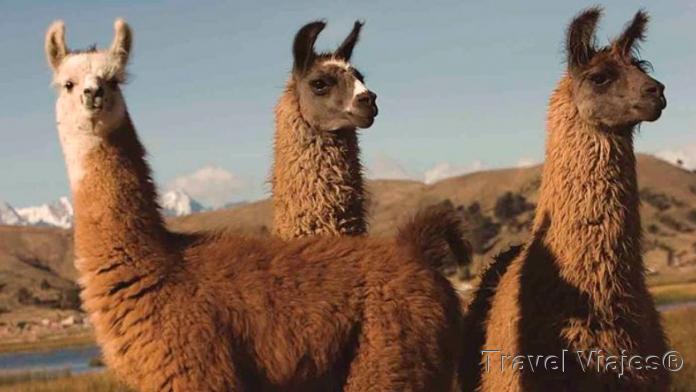 Llamas y Alpacas Perú