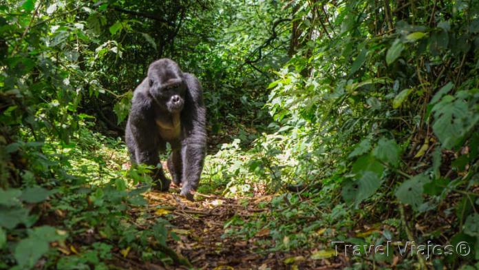 Los Últimos Gorilas de Montaña Ruanda