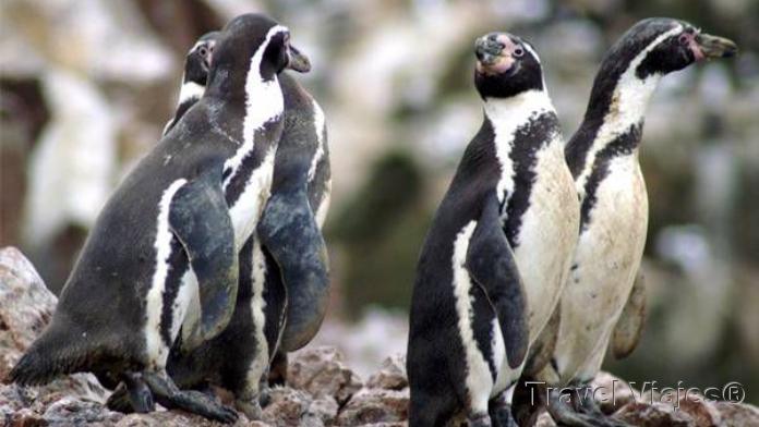 Pingüinos Paracas Perú