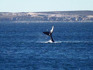 argentina-puerto-madryn-ballena-franca-austral-991.jpg