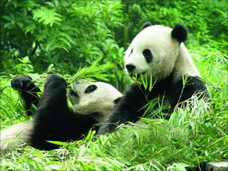 china-chengdu-panda-740.jpg