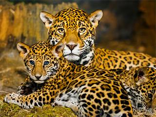 mexico-chiapas-jaguar-65.jpg