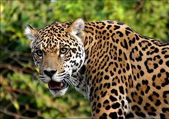 Mexico Chiapas Jaguar