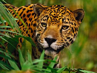 mexico-selva-lacandona-jaguar-593.jpg