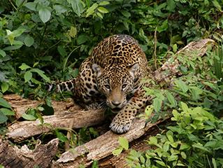 mexico-tuxtla-gtz-jaguar-en-zoomat-445.jpg
