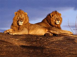 tanzania-serengeti-leones-798.jpg